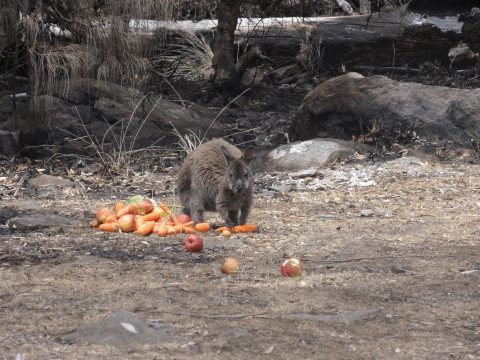 A wallaby with donated food.